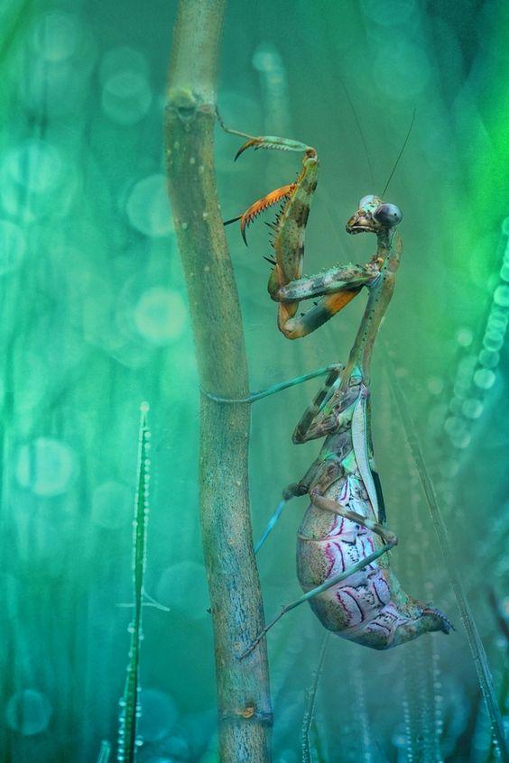 Praying Mantis-Hannah Wagner/ The Hero'sInferno