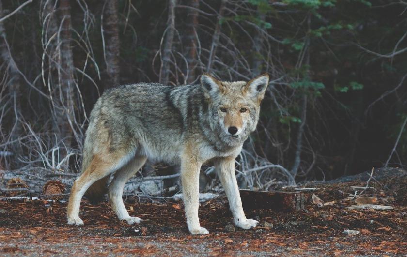 wolf-690102_1280
